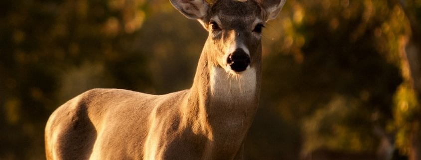Saskatchewan Whitetail Deer
